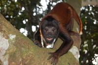 Baby Red Howler Monkey Exercising