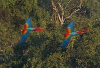 Macaws Seen From Canopy Platform