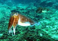 Pharoah cuttlefish