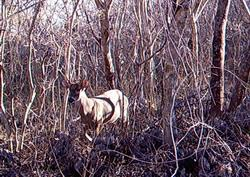 White-tailed deer by sensor camera