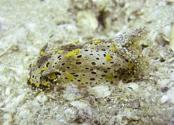 New nudibranch species