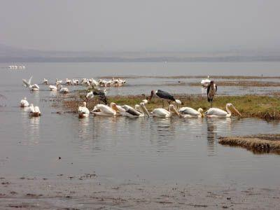 Pelicans in Kenya