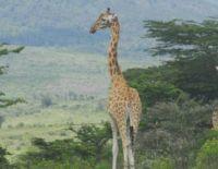 Protect the Endangered Rothschild Giraffe in Kenya