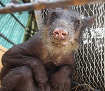 Animal Defenders International rescued Cholita the spectacled bear from a life of abuse at a circus in Peru, where she was declawed, had her teeth broken and lost her fur due to stress.