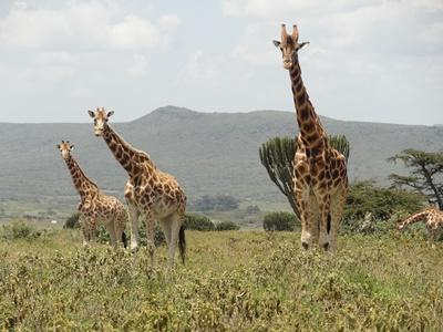 Three Rothschild's Giraffes roam in a Kenyan conservancy at a Projects Abroad African Savannah Conservation project