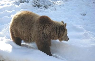 Bärenschutz in Rumänien