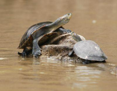 Schildkröten-Schutz in unserem Naturschutz-Projekt in Peru