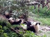 Neues Tierschutz - Projekt in China: Freiwilligenarbeit in einer Panda - Aufzuchtstation