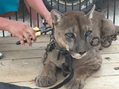 Animal Defenders International retteten den Berglöwen  Mufasa vor dem Misshandlungen und einem Leben als Zirkustier, er wird jetzt mit Projects Abroad im Taricaya Reservat untergebracht