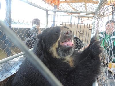 Der Brillenbär nachdem Projects Abroad und ADI eine Befreiungsaktion aus einem illegalen Zoo in Sandia gestartet haben