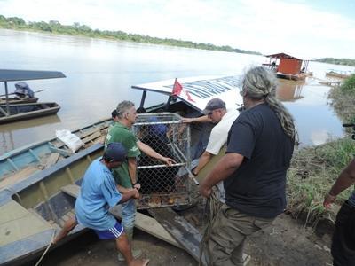 Projects Abroad und Animal Defenders International Mitarbeiter arbeiteten zusammen um einen Bären in das Taricaya Ecological Reserve im peruanischen Regenwald zu bringen