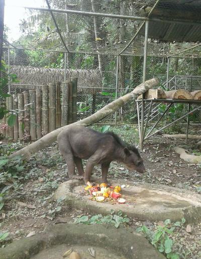Dominga, eine aus dem Zoo gerettete Brillenbäredame in ihrem Gehege im Taricaya Reservat in Peru
