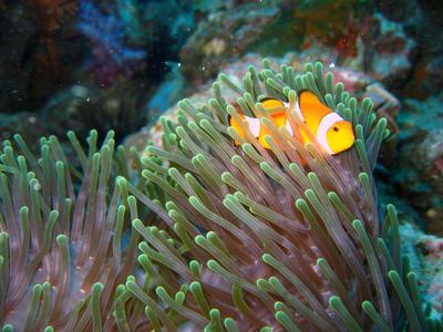 Ein Clownfisch in einer Anemone, gesichtet im Naturschutz – Projekt in Thailand