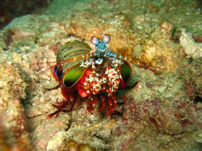 Freiwillige im Naturschutz – Projekt in Thailand haben einen bunten Fangschreckenkrebs