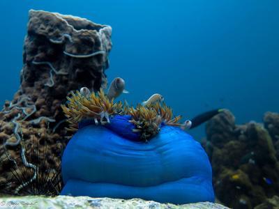 Halsband-Anemonenfische, entdeckt von Projects Abroad Naturschutz – Freiwilligen während eines Tauchgangs