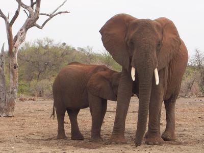 Elefantenkuh mit ihrem Jugen in der Savanne Botswanas