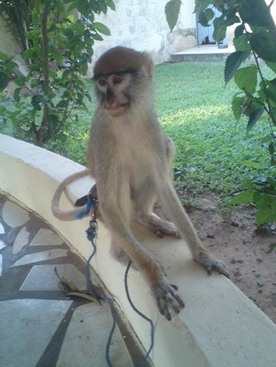 I Kpong fik vi besøg af en abe