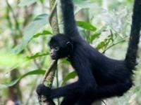 Succesfuld udsætning af edderkoppeaber i Perus regnskov