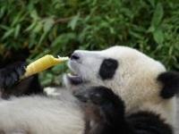 Kinesiske kæmpepandaer til Danmark