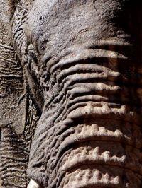 Den afrikanske elefant i fare for at blive udryddet