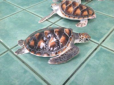 Havskildpadder i Thailand