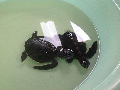 Unger af kæmpeskildpadder i Thailand