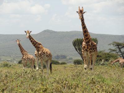 Tre Rothchild's giraffer bevæger sig omkring i reservat i Kenya på et af Projects Abroads afrikanske savanne projekt.
