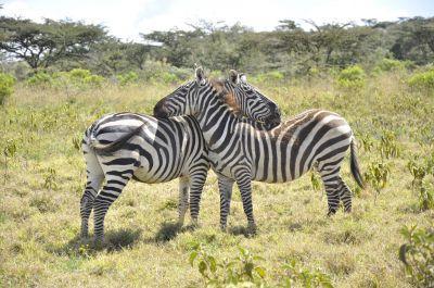 To zebraer står sammen i et reservat i Kenya på Projects Abroads afrikanske savanne projekt.