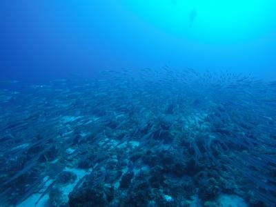 invasiv fisk i belize
