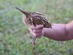 Volunteers make breakthrough discovery of new bird species in Peru