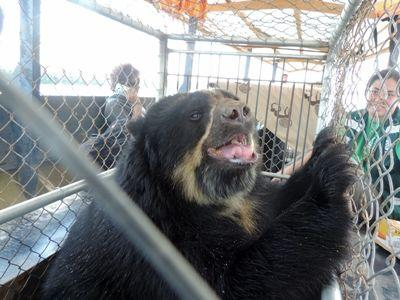 A spectacled bear is seen in transit after Projects Abroad and Animal Defenders International conduct a rescue operation to free animals from an informal zoo in Sandia, Peru.