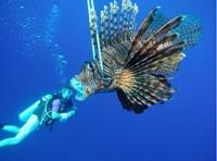 Conservation volunteers in Belize work to control invasive lionfish species