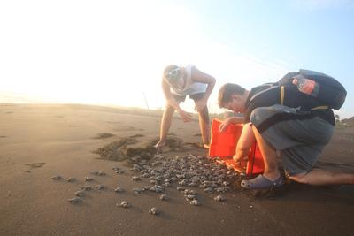 Sea turtle hatchlings release into the ocean by Conservation volunteers in Mexico