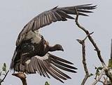 Vulture volunteer in India