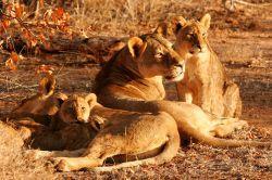 Fyra lejon njuter av solnedgången vid ett av våra naturvårdsprojekt.