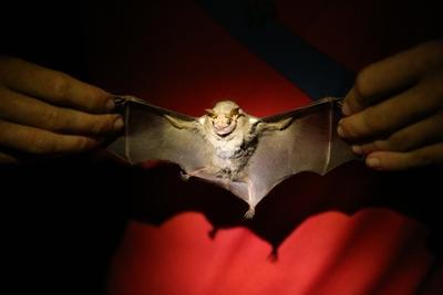 Vista complete del cuerpo y el ala del Centurio Senex, también conocido como el murciélago de cara arrugada, capturado en Barra Honda durante el Conteo de Navidad Mesoamericano