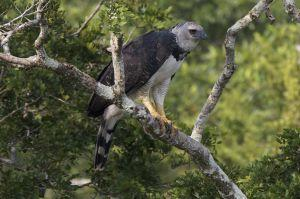 Un águila real vista en un árbol en la reserva ecológica Taricaya en Perú