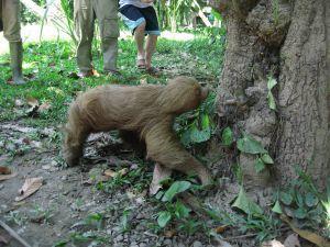Un oso perezoso liberado en la reserva Taricaya, Perú