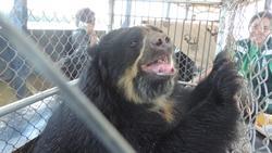 Silmälasikarhu kuljetusvaunussa Projects Abroadin ja Animal Defenders Internationalin suorittaman pelastusoperaation jälkeen, jossa vapautettiin villieläimiä laittomasta eläintarhasta Sandiassa, Perussa.