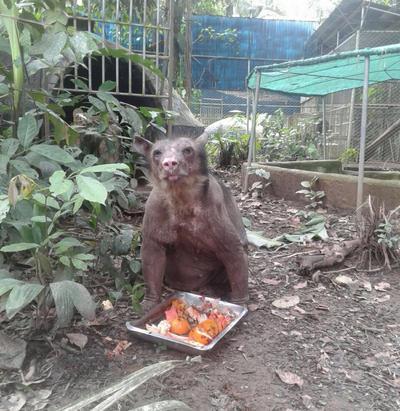 Une ours à lunette sauvée mange dans son enclos