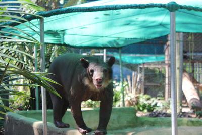 Un ours à lunette qui profite de la piscine de son enclos