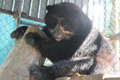 Un ours à lunette sauvegardé dans la réserve écologique de Taricaya