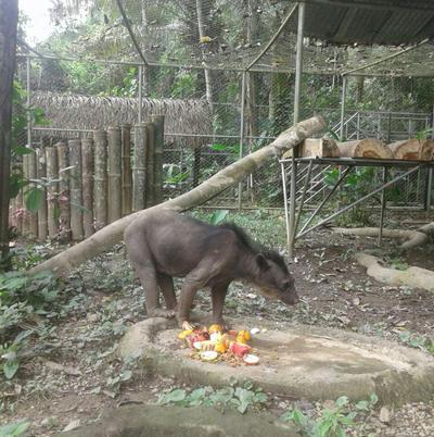 Une ours à lunette sauvés dans son grand enclose à Taricaya