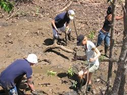 Reforestation de mangroves en Thaïlande