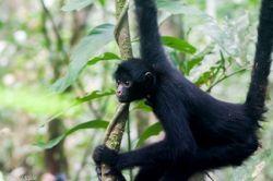Singe araignée mission écovolontariat au Pérou