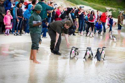 Nos volontaires aident à la réintroduction de pingouins en milieu naturel en Afrique du Sud