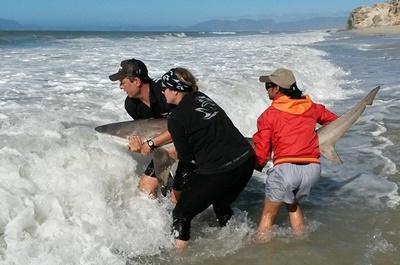 Projet protection des requins en Afrique du Sud