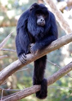Si cercano volontari per il progetto di riabilitazione di scimmie urlatrici in Argentina!