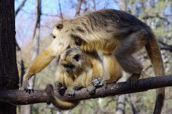 Riabilitazione-scimmie-argentina