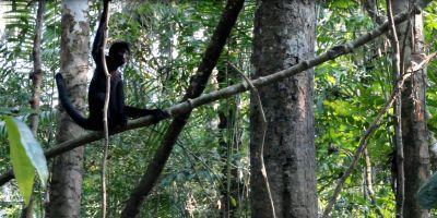 scimmia-ragno-perù